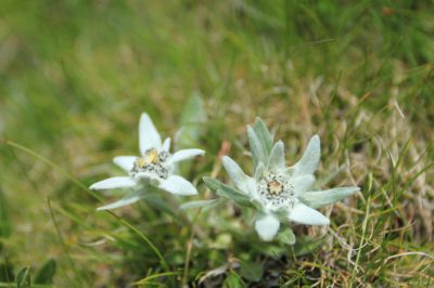 Rarely spotted edelweiss flower in the Julian Alps.