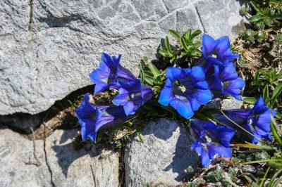 Clusius' gentian, common representative of Alpine flowers.