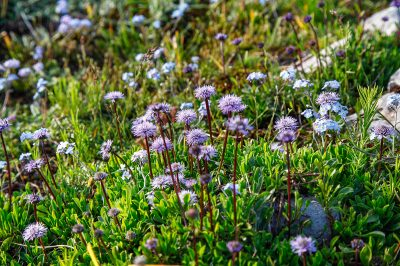 Wild flowers in the mountains of Durmitor National Park