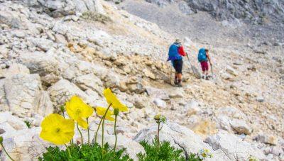 Golden Alpine flowers amidst harsh rocky limestone.